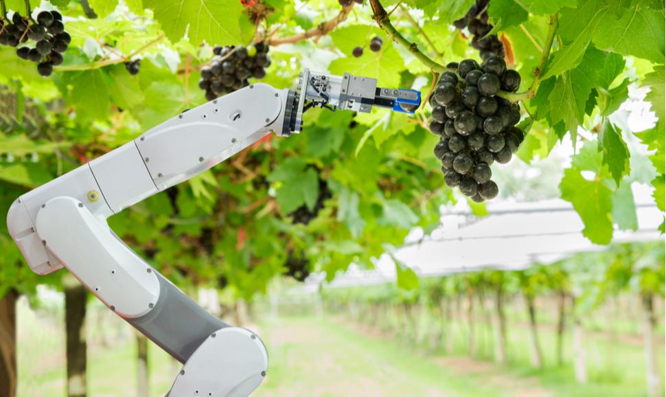 Robotização na colheita de uva